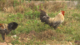 HD2009-4-7-45 Cuba rooster Stock Video Footage