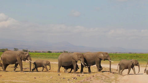Baby elephant in a herd Footage