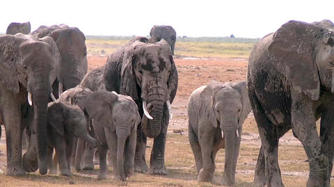 Close-up of a large herd of elephants comes to wat Footage