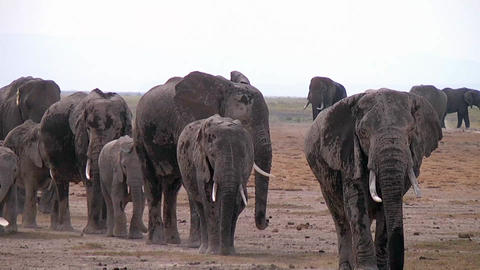 Elephants In A Line In The Plains Stock Video Footage