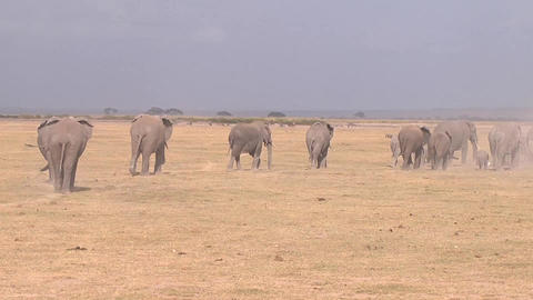 Large herd of African elephants walking on the sav Footage