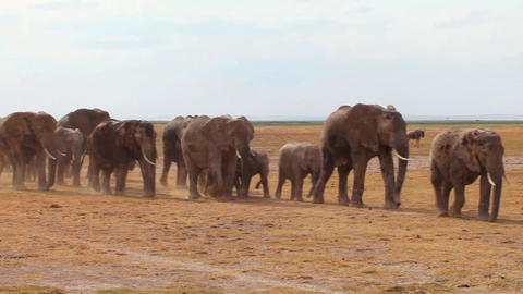 Big Herd Of Elephants Walking Towards Camera Footage