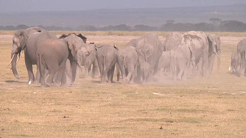 Herd of elephants at the watering hole goes Footage