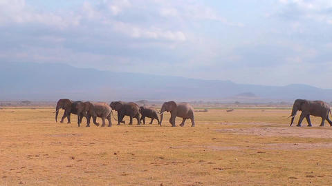 Elephants In A Line In The Plains Footage