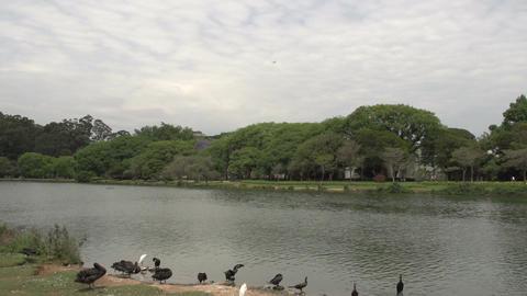 020 Sao Paulo , Ibirapuera park , pond , ducks , s Footage