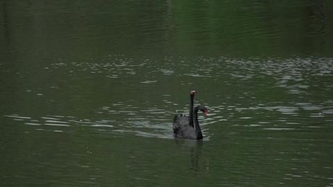 059 Sao Paulo , Ibirapuera park , 2 black swans in Footage