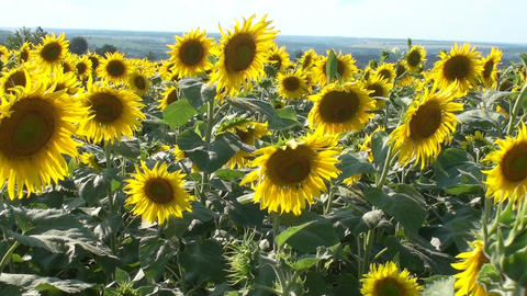 Sunflowers Summer Background HD stock footage
