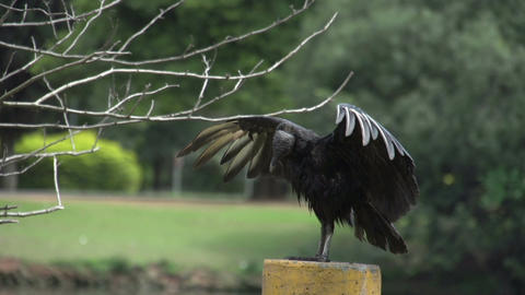 061 Sao Paulo , Ibirapuera park , a vulture drying Stock Video Footage
