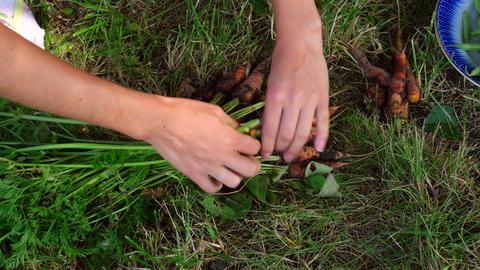 Harvest Carrots stock footage