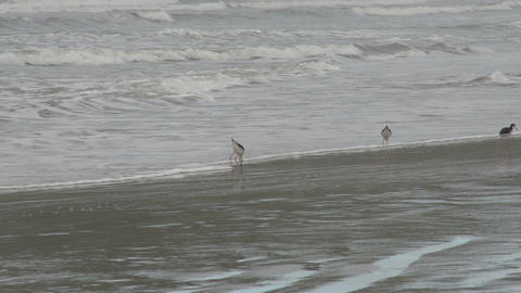 010 Laguna , birds at coastline Stock Video Footage