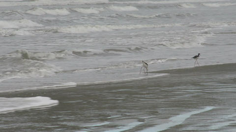 010 Laguna , birds at coastline Footage