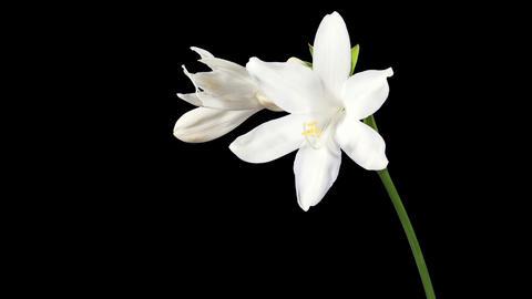 Blooming white hosta flower buds ALPHA matte, FULL Footage