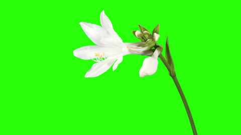 Blooming white hosta flower buds green screen, FUL Footage
