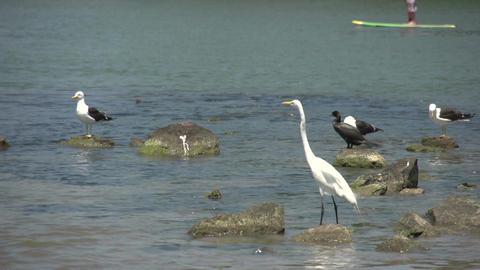 062 Laguna , Big snowy egret ( Egretta thula ), se Footage