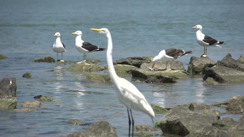 064 Laguna , Big snowy egret ( Egretta thula ) fly Footage