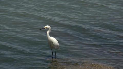 0141 Laguna , Lake view , Big snowy egret ( Egrett Footage