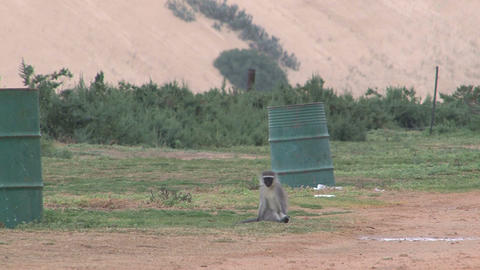 Monkey on trashcan Footage
