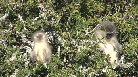 Monkeys in tree Stock Video Footage