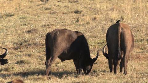 Group of buffalos Footage