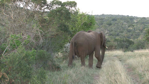 Elephants comes out the bush Footage