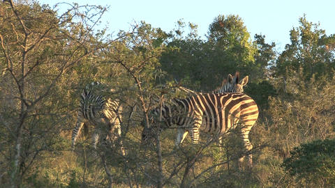 Group of zebras Stock Video Footage