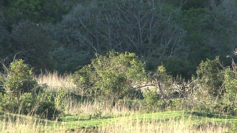 Group of deers Footage