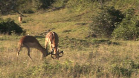 Deers fighting Stock Video Footage