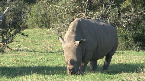 Rhino Grassing Footage