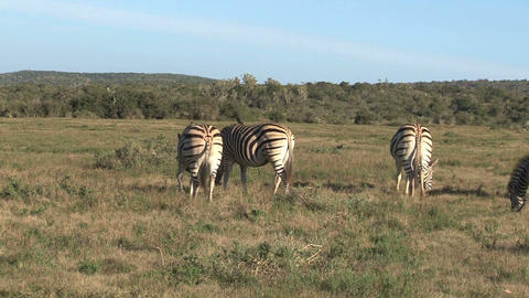 Group zebras Stock Video Footage