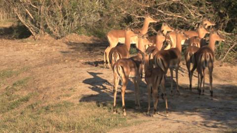 Group deers Stock Video Footage