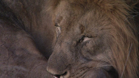 Lion close-up, sleeping Stock Video Footage