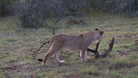 Lion playing with tree stick Stock Video Footage