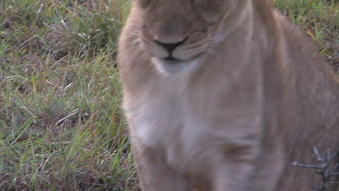 Lion sits down Stock Video Footage