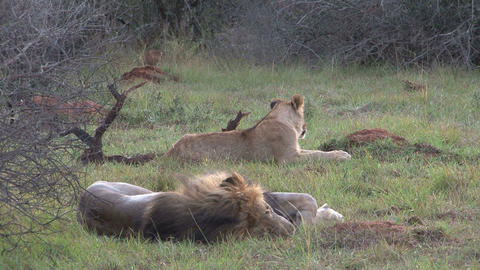 Lions sleeping Footage