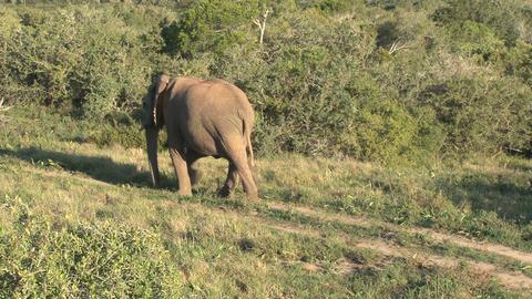 Elephant walks Stock Video Footage