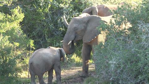 Elephants playing Footage