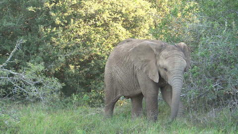 Elephant eating from tree Stock Video Footage