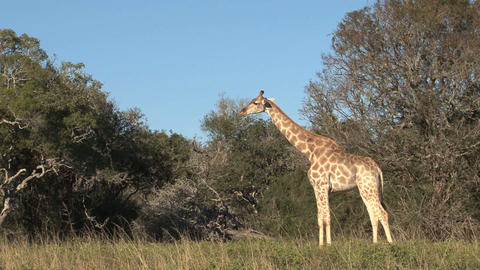 Group of giraffes Stock Video Footage