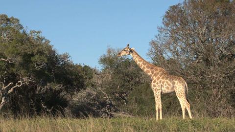 Group of giraffes Footage