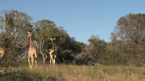 Group of giraffes Footage