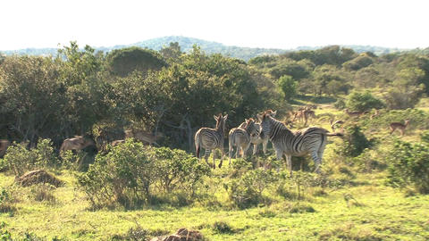 Group zebras in grassland Stock Video Footage