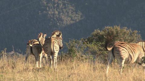 Group zebras in grassland Stock Video Footage