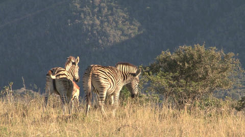 Group zebras in grassland Footage
