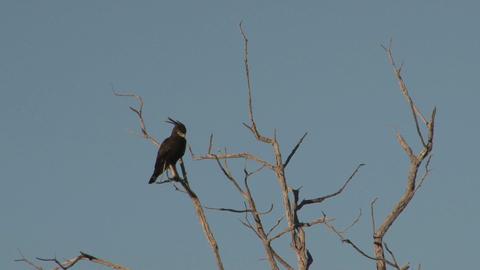 Black bird in tree Stock Video Footage