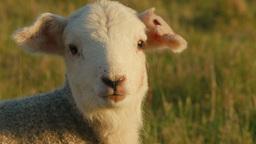 Lambs 0