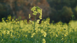 Blooming Canola Plants Stock Video Footage