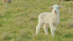 Cute White Lamb in a Grassy Field Footage
