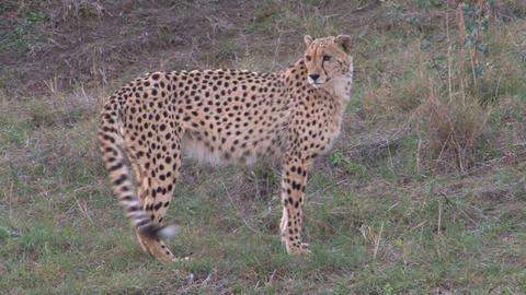 Cheetah walks in grassland Stock Video Footage