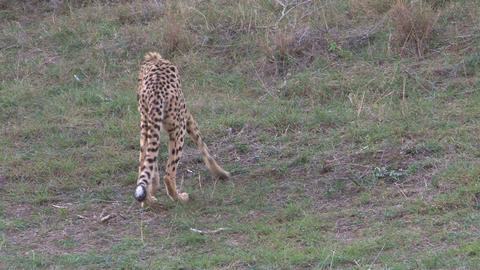 Cheetah eating animal Footage
