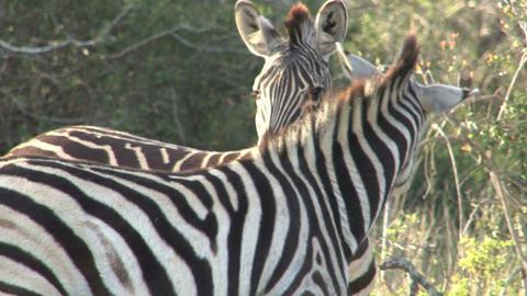 Zebras in grassland Footage